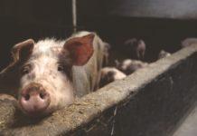 pigs medium